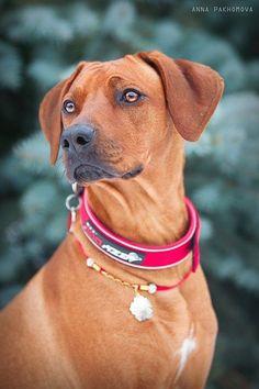 Ridgeback, beautiful dogs, next dog maybe?