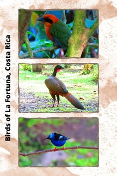 Birding in Costa Rica is simply fantastic. I added the Bogarin trail in La fortuna to my Costa Rica itinerary and it was the best decision ever. Click to read about my amazing birding experience.  #costarica #birdwatching
