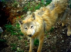 The Himalayan Wolf (Canis himalayensis) represent a critically endangered canid species. The Himalayan Wolf only has a small population of 350.