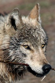 ☀closeup of grey female wolf by Bsandtana on Flickr*