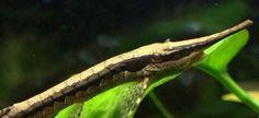 Farlowella Catfish