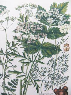 Botanical Illustrations vintage by PeonyandThistlePaper on Etsy