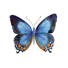 ༺ ʚįɞ Beautiful ༻ :: 80 Imperial Blue Butterfly - Fine Art Print by Amy Kirkpatrick