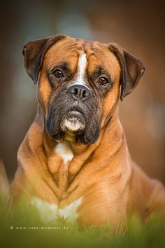 sweet boy by Jessica Lipki* Sucha beautiful Boxer Boxer And Baby, Boxer Love, Baby Dogs, Dogs And Puppies, I Love Dogs, Cute Dogs, Boxers, Dog Best Friend, Family Dogs