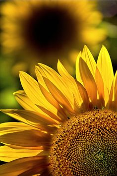 Sunflowers | #picmonkey #pinyourlove