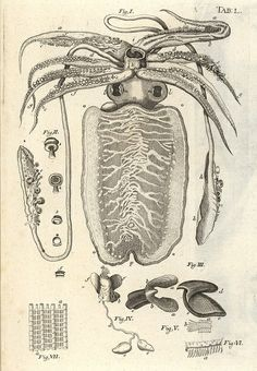 Squid from 'Bible der Natur' by Jan Swammerdam, 1752 Science Illustration, Nature Illustration, Botanical Illustration, In Natura, Underwater Creatures, Illustrations, Zoology, Science And Nature, Sea Creatures