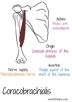 All Upper Limb Muscles Notes & Drawings Muscle Anatomy, Body Anatomy, Human Anatomy, Muscles Of Upper Limb, Bones And Muscles, Medicine Notes, Medicine Student, Hand Therapy, Massage Therapy