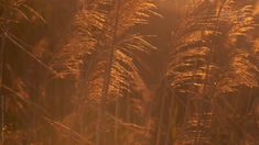 Coastal Grass at Sunset Stock video of dune grass in the wind during a beautiful orange sunset on th Aesthetic Photography Nature, Nature Aesthetic, Brown Aesthetic, Aesthetic Gif, Aesthetic Videos, Aesthetic Backgrounds, Photo Backgrounds, Aesthetic Pictures, Aesthetic Wallpapers