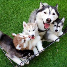 husky siberian dog