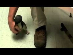 Little penguin being tickled. i just died 5 times