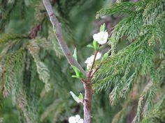樹木の花. blossoms of a tree. I can't identify it for now. 9 April 2017.
