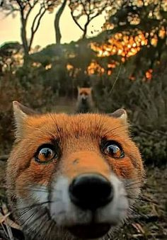 Two foxes exploring the wild but one getz curious and finds something he/she shouldn't have.