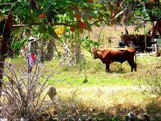 Bull who hates art in Bagamoyo
