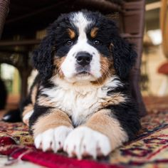 Bernese Mountain Dog (6 w/o), Oley, PA • A sneak preview from my next book, coming this Fall: The Dogist Puppies • Happy National Puppy Day!