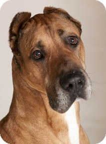 Chicago, IL - Great Dane Mix. Meet Scooby a Dog for Adoption.