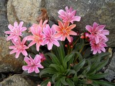 Lewisia longipetala 'Little Plum' - Maréchal Green Flowers, Love Flowers, Colorful Flowers, Rock Garden Plants, Pink Garden, Bellis Perennis, Seed Packaging, Plant Catalogs, Forest Garden
