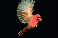 Male Cardinal - photo by R. W. Scott