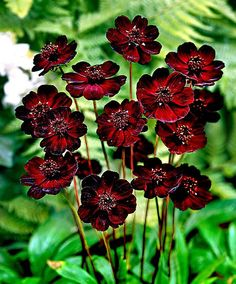 Cheap chocolate cosmos, Buy Quality chocolate cosmos flowers directly from China for garden Suppliers: 400 Chocolate Cosmos flower seeds- Blooms all summer long and has rich scent like chocolate for home garden Rare Flowers, Black Flowers, Beautiful Flowers, Cosmos Flowers, Exotic Flowers, Summer Flowers, Chocolate Cosmos Flower, Cosmos Plant, Hardy Perennials