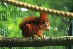 Red quirrel
