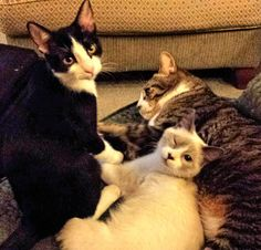 My foster fails (refers to the fact that they were once foster kittens but then I adopted them. L to R Tweek, Buddy and Buster. Love my babies <3
