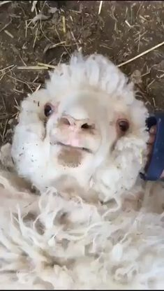 Happy and lovely sheep - Cute animals, funny animals Funny Animal Memes, Funny Animal Videos, Funny Animal Pictures, Cute Funny Animals, Cute Baby Animals, Funny Cute, Animals And Pets, Pet Pictures, Hilarious Pictures