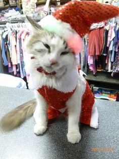 Merry Christmas -#christmascat #cat #mayhenkitty #mayhemcat #catholiday #mayhamazkidznmore #azkidznmore