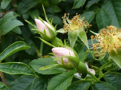 dog rose bud - Google Search