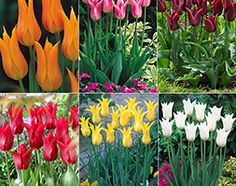 Champagne flute tulips These tall elegant fluted tulips flower in late April/May and will display exquisite colour and diversity. They are suitable for patio containers and borders and are excellent as cut flowers. Tulips Flowers, Cut Flowers, Garden Shop, Spring Garden, Champagne, Diversity, Plants, Patio, Display