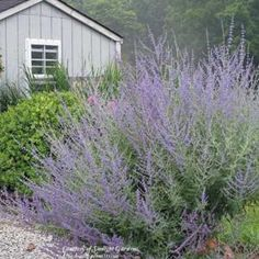 Russian Sage    Uses:Windbreak or Hedge  Culinary Herb  Cut Flower  Attracts Bees  Attracts Butterflies  Attracts Hummingbirds  Suitable for xeriscaping  Suitable for alpine/rock gardens