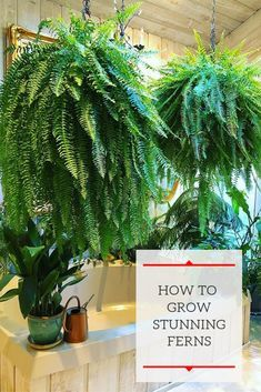 Learn how to grow big, gorgeous ferns! It is easier than you might thing, so fo… Learn how to grow big, gorgeous ferns! Fern Houseplant, Fern Plant, Indoor Ferns, Fern Care Indoor, Big Indoor Plants, Big Plants, Potted Plants, Hanging Ferns, Hanging Plants Outdoor