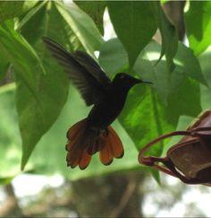 Hummingbird,Adventure Farm,Arnos Vale,Tobago.#VirtualTourist