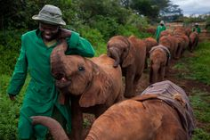 Picture of orphan elephants walking with their caretakers