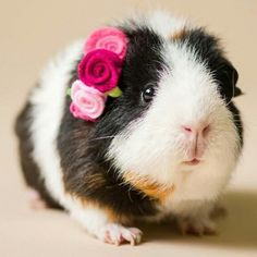 So Many Guinea Pigs So Pretty In Pink