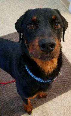 Rottweiler Mix, Check, Dogs, Animals, Animales, Animaux, Doggies, Animal, Animais