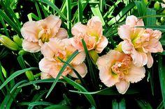 Siloam Double Classic Daylily Garden, Day Lilies, Dream Garden, Garden Plants, Tigers, Perennials, Lust, Beautiful Flowers, Bloom