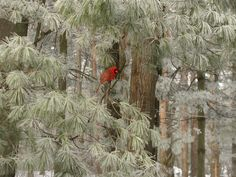 Hoar Frost on Pines and Cardinal
