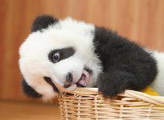 Imagem: Filhote de Panda