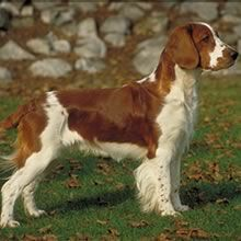 Welsh Springer Spaniel - The Welsh Springer is a hard worker and devoted companion, willing to go all day whether in the field or just out having a good time with its people. It is thought that the Welsh Springer descends from red and white dogs that were brought into Wales by the Gauls in pre-Roman times.