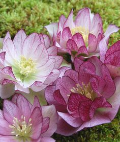 """Hellebore """"Peppermint Ice"""""""