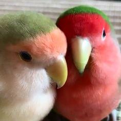 Snuggling Lovebirds - My Favorite Worlds Love Birds Pet, Cute Birds, Pretty Birds, Beautiful Birds, Animals Beautiful, Pretty Animals, Cute Little Animals, Cute Funny Animals, Funny Animal Videos