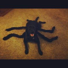 Black Widow-Lab. Halloween costume next year? | HOLIDAY / deco ...