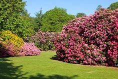 Rododendron i azalia Krzewy w pi knym ogrodzie Lato w s o cu Zdjęcie Seryjne