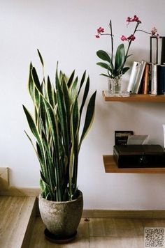 improving air quality - snake plant