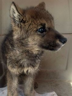 Two campers from Florida rescuedwhat they thought was a stranded puppy while visiting Idaho's Smoky Mountains last month. When they took their adorable new pet to the vet, they learned it was a WOLF. According to officials and experts in the government and wildlife advocacy groups, the 6- or 7-week-old, 20-pound pup is the first known baby wolf to be mistakenly picked up by people since the animals were reintroduced to the region in 1995.- HA!