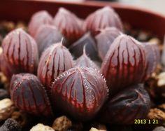 Haworthia obtusa