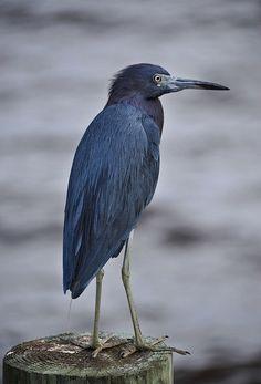 Paul Garfinkel | Little Blue Heron (Egretta caerulea)