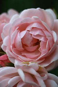 """Astrid Lindgren"" Rose by Johanna Huhtala"