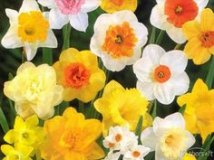 daffodils, jonquils... inkspired musings: Spring quotes, song sheets, free paper doll and a super chicken recipe