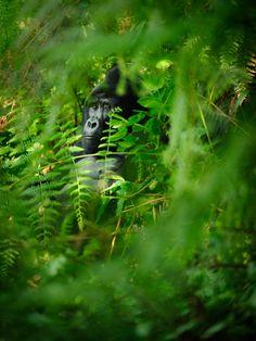 https://flic.kr/p/CRYhKq   Bwindi Impenetrable National Park, Uganda, 2015   Male silverback mountain gorilla in the thick vegetation of Bwindi Impenetrable National Park, Uganda.