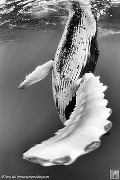 humpback whale spyhop viewed from underwater